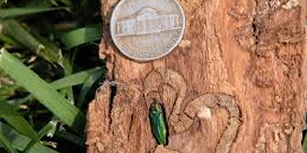Emerald Ash Borer Coming to Bucks County, PA
