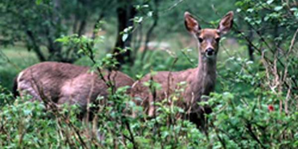 Deer Resistant Plants; Landscape Planting with White-Tailed Deer