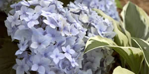 Hydrangeas for Bucks County